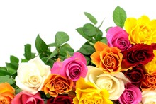 Colorful Roses On White Background.