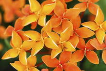 Close Up Photo Of A Bunch Of Ixora Flower At Full Bloom