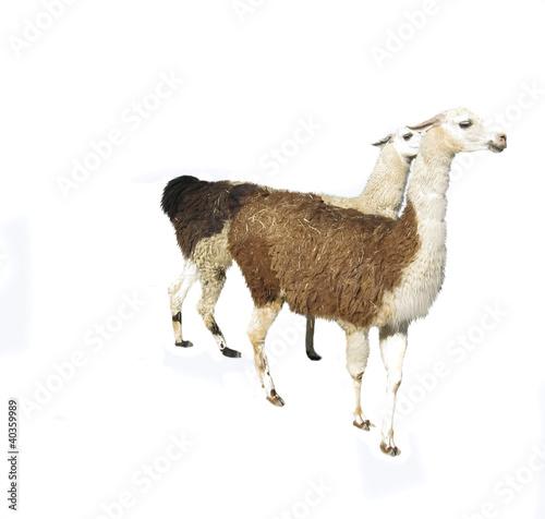 Two brown lamas