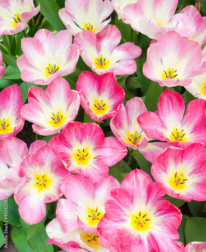Photo Stands Candy pink pink tulips