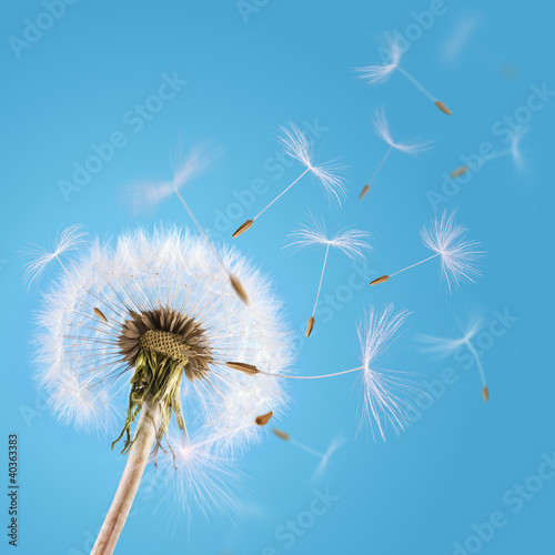 Staande foto Paardebloem Dandelion seeds blown in the sky
