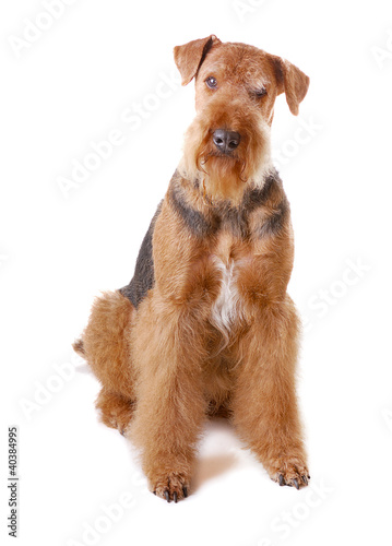 dog Airedale Canvas Print