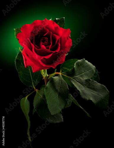 bliska-czerwona-roza-na-ciemnozielonym