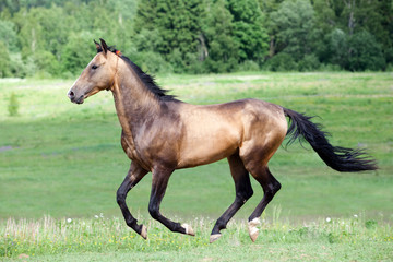 Ahal-Teke horse gallops in field