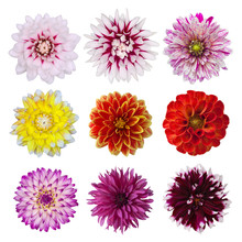 Collection Of Dahlia Daisies Isolated On White Background