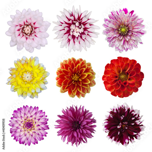 Poster de jardin Dahlia collection of dahlia daisies isolated on white background