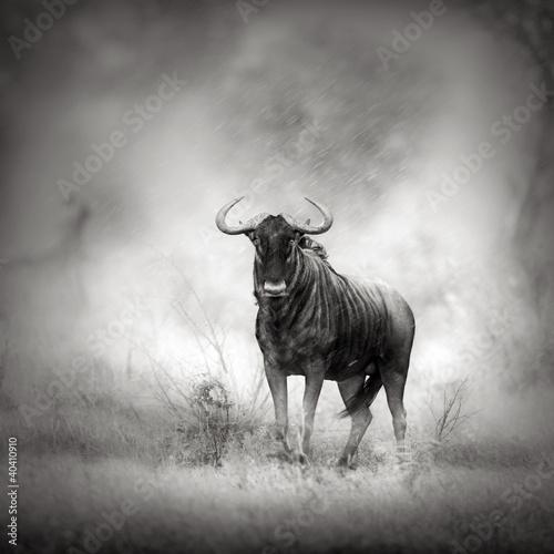 blue-wildebeest-w-ulewie