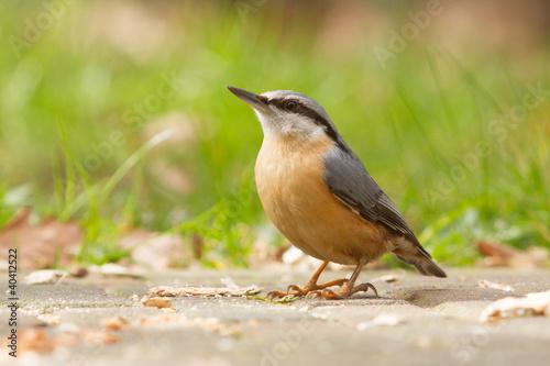 Staande foto Vogel A Nuthatch on the ground