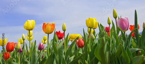 Wonderful spring: tulip field with blue sky