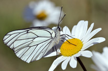 Macro Of Black-veined White (Aporia Crataegi) On Daisy Flower