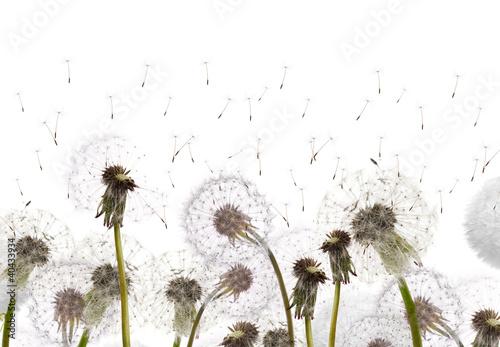 pole-z-bialymi-dandelions