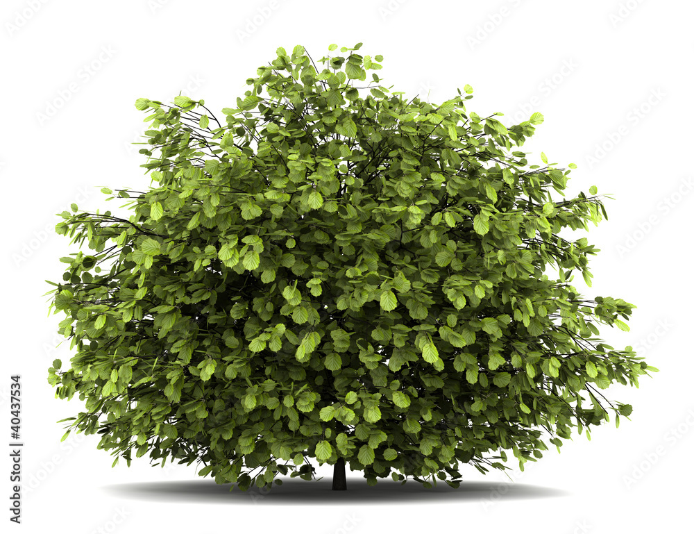 Fototapety, obrazy: common hazel bush isolated on white background