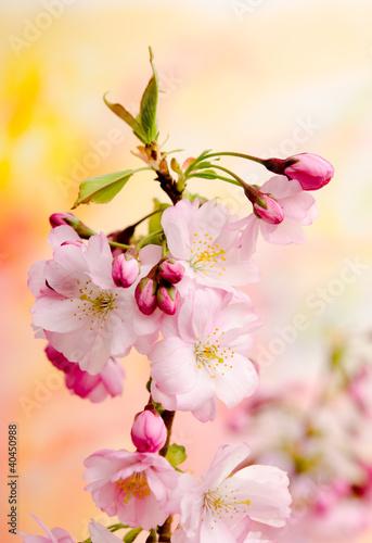 Fototapeta wiosna japonska-wisnia-na-wiosne