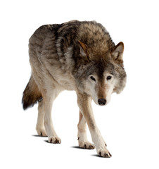 wolf. Isolated over white