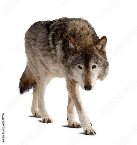 Photo  wolf. Isolated over white