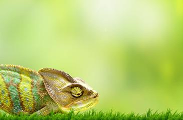 Fototapeta Chameleon on beautiful green grass