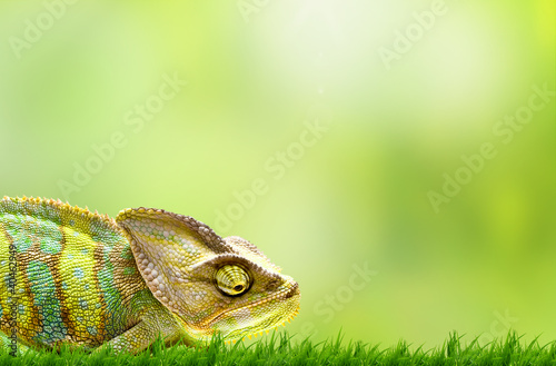 Photo sur Aluminium Cameleon Chameleon on beautiful green grass