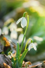 Snowdrop Flower In Morning Dew...