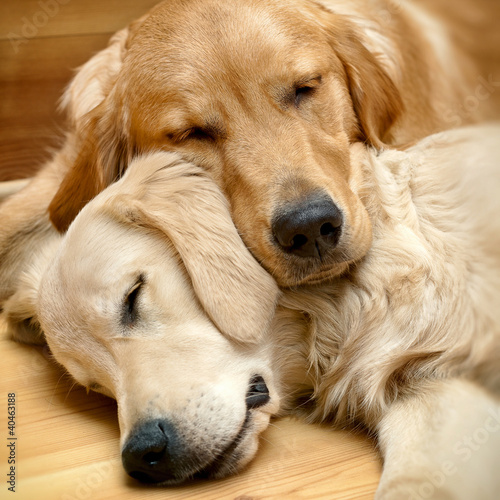 Obraz View of two dogs lying - fototapety do salonu