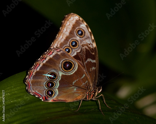 Fotografie, Obraz  Blue Morpho Butterfly on leaf