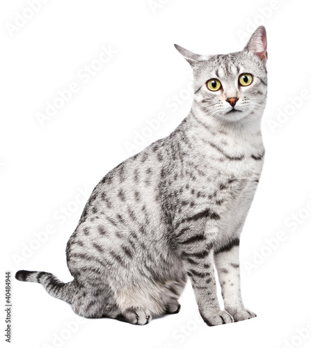 Papiers peints Rouge, noir, blanc Cute Egyptian Mau with Yellow Eyes