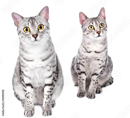 Papiers peints Rouge, noir, blanc Pair of Egyptian Mau Cats