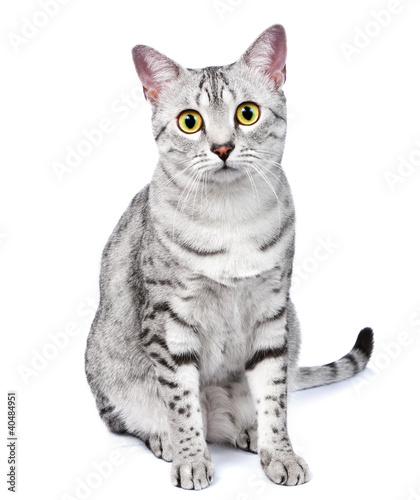 Papiers peints Rouge, noir, blanc A Beautiful Egyptian Mau Cat Looks Directly at Camera