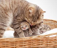 Adorable Small Scottish Kitten In Wicker Basket