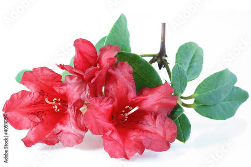 In de dag Azalea Red Rhododendron Flower