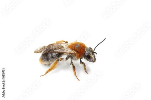 Photo  abeille
