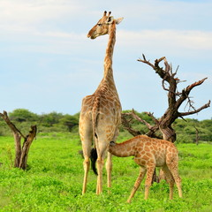 Fototapetarare breast-feeding of young giraffe