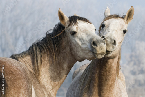 arabskie-usmiechniete-konie-na-tle-snieznej-polany