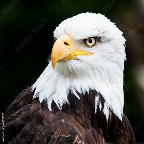 Poster Eagle Portrait of a bald eagle