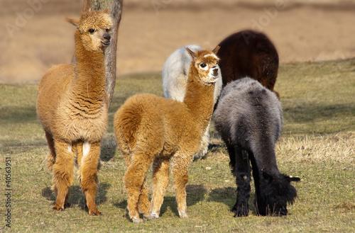 Poster Lama Herd of alpacas