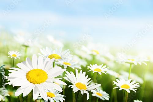 In de dag Madeliefjes field of daisy flowers