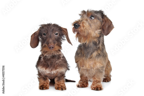 Two miniature Wire-haired dachshund dogs - Buy this stock