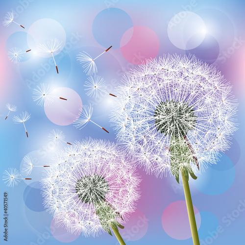Flowers dandelions on light background - 40571549