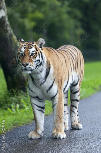 tygrys-na-drodze