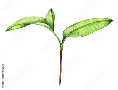 plakat Watercolor illustration of young plant on white