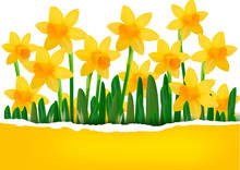 Yellow Spring Flower Background With Ripped Paper
