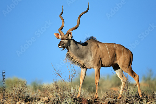 Big male kudu antelope against a blue sky