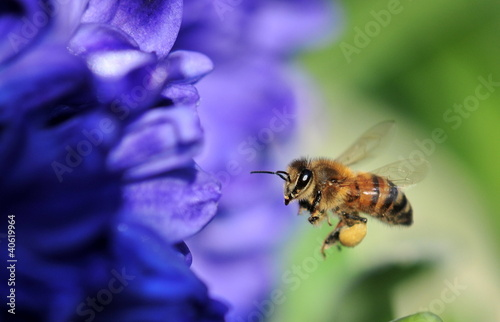 Spoed Foto op Canvas Bee bee in flight