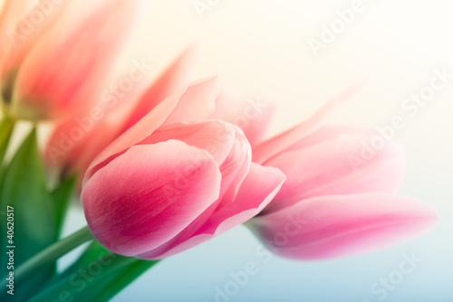Fotografie, Obraz Spring Tulips