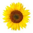 canvas print picture - Die perfekte Sonnenblume auf weiß