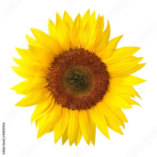 Fotobehang Zonnebloem Die perfekte Sonnenblume auf weiß