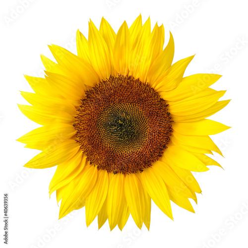 Spoed Foto op Canvas Zonnebloem Die perfekte Sonnenblume auf weiß