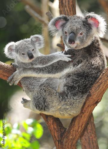 Printed kitchen splashbacks Australia Australian Koala Bear with her baby, Sydney, Australia grey bear