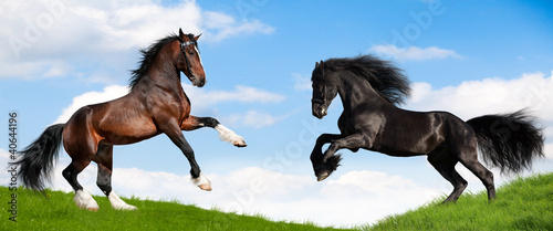 Valokuva Friesian black and bay Clydesdale horses in field.