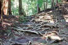 Root Of Tree , Kurama-temple Kyoto