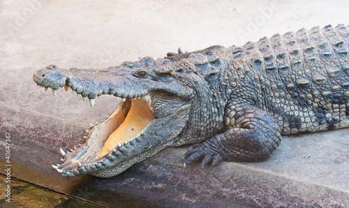 Foto op Plexiglas Krokodil Dangerous crocodile with open mouth